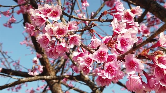 ピンクの桜の花や桜の花庭 - デジタル合成点の映像素材/bロール