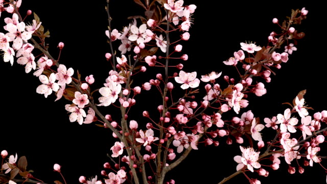 Pink Cherry Blossoms; TIME LAPSE video