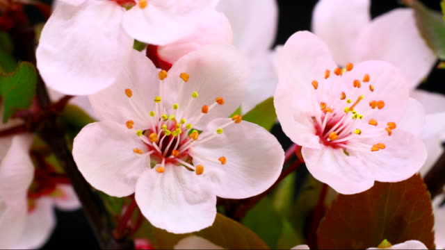pink cherry baum blumen erblühen 4 k - einzelne blume stock-videos und b-roll-filmmaterial