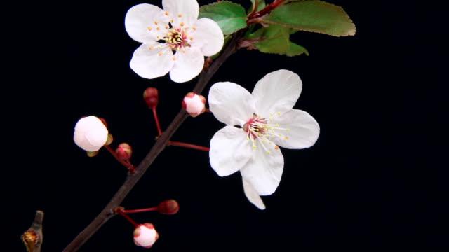 vídeos de stock, filmes e b-roll de rosa árvore de cereja flores florescendo 4 k - cerejeira árvore frutífera
