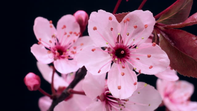 Royalty free cherry blossom hd video 4k stock footage b roll istock pink cherry tree flowers blooming 4k video mightylinksfo