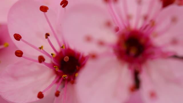 vidéos et rushes de fleurs de cerisier en fleurs rose 4 k - angiosperme
