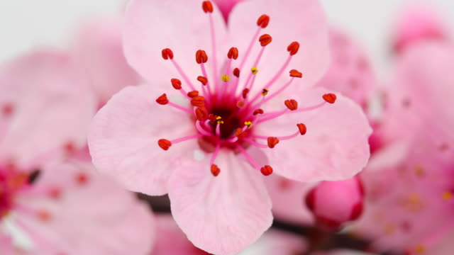 Pink cherry tree flowers blooming 4K Cherry flowers blooming in time lapse video. in bloom stock videos & royalty-free footage