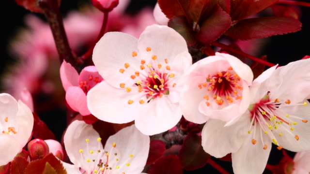 Pink cherry tree flowers blooming HD 4k video