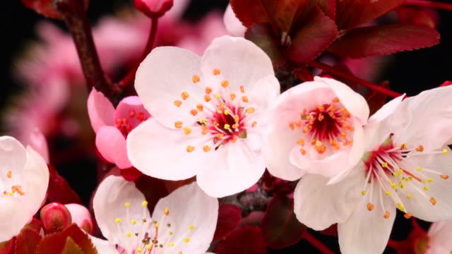 vídeos de stock, filmes e b-roll de rosa árvore de cereja flores florescendo hd 4 k - cerejeira árvore frutífera