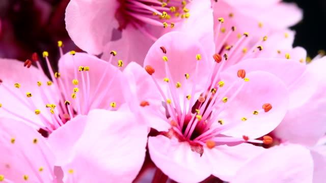 Pink cherry tree flowers blooming HD 4k video