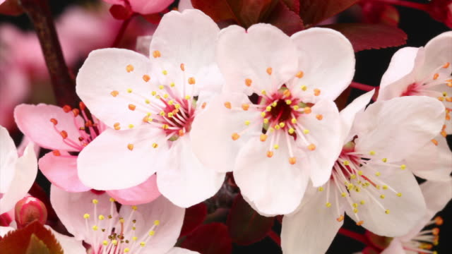 stockvideo's en b-roll-footage met pink cherry tree flowers blooming hd - japan