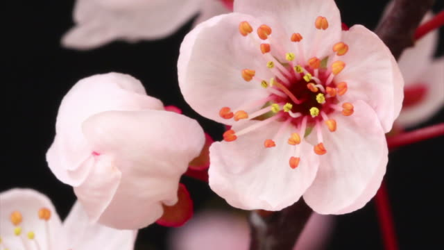 Pink cherry tree flowers blooming HD video