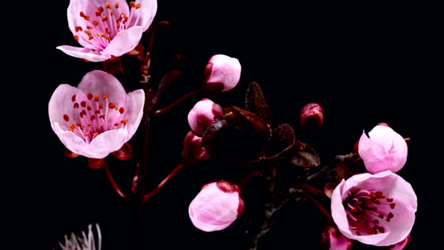 Pink cherry tree flowers blooming - Sakura video
