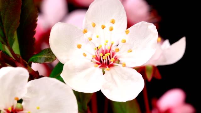 vidéos et rushes de fleurs de cerisier rose fleurs - arbre en fleurs