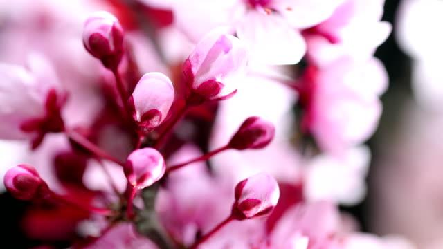 stockvideo's en b-roll-footage met roze kersenboom bloemen bloeien - bloesem