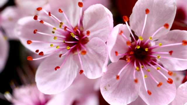 Pink cherry tree flowers blooming video