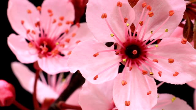 stockvideo's en b-roll-footage met pink cherry tree flowers blossoming hd - bloemhoofd