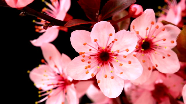 Pink cherry tree flowers blossoming HD video