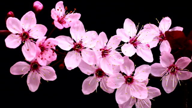 Royalty free cherry blossom hd video 4k stock footage b roll istock pink cherry tree flowers blossoming hd video mightylinksfo