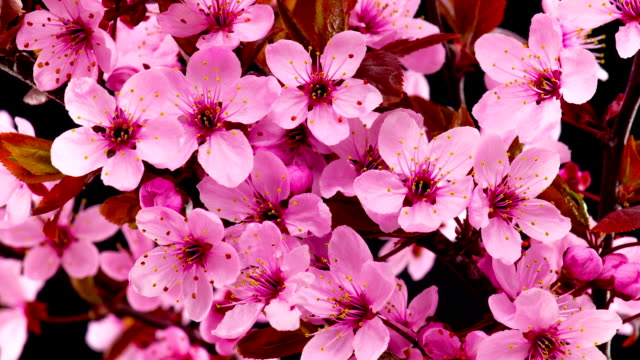 pink cherry tree flowers blossoms. - fiori video stock e b–roll
