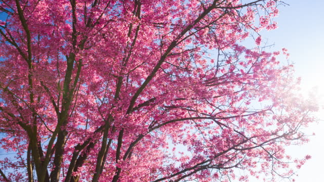 Pink cherry tree in bloom