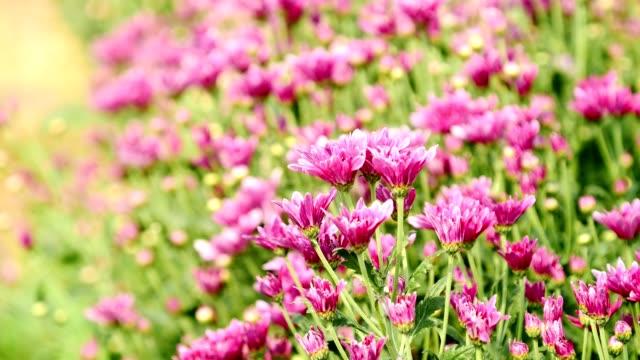 Pink Chrysanthemum flowers in the garden.