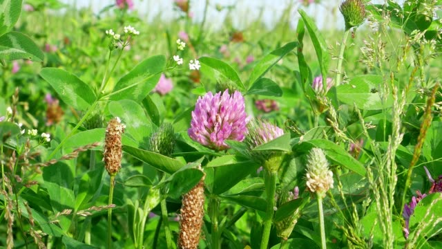Pink clover flower in the wind in the field. St.Patrick 's Day. Video. Sunny day. Wind. Agriculture. Farm field Feed for livestock.
