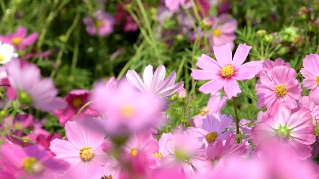핑크 코스모스 코스모스 밭에서 꽃. - 초점 이동 스톡 비디오 및 b-롤 화면