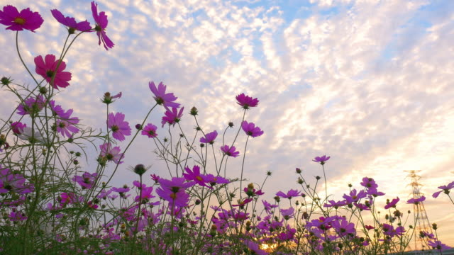 vídeos de stock e filmes b-roll de pink cosmos flowers swaying in wind in sunset - violeta flor