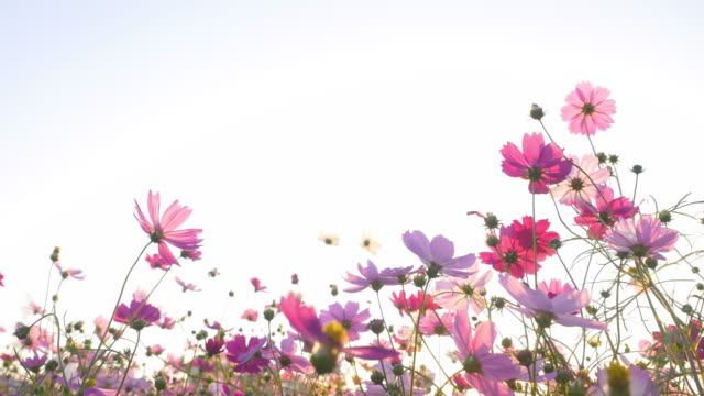 Pink cosmos swaying in wind in sunny day. Copy space, isolated.