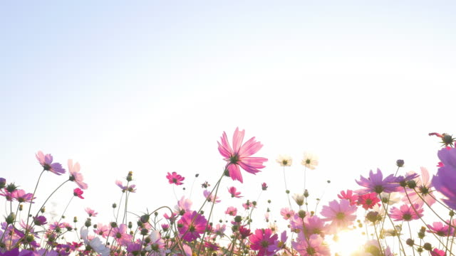 pink cosmos swaying in wind in sunny day. copy space, isolated. - grass isolated video stock e b–roll