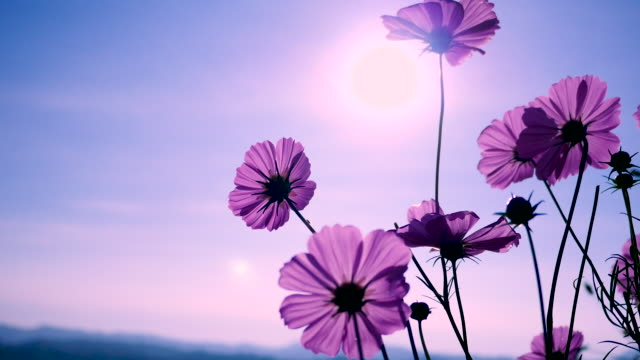 Pink cosmos swaying in wind in sunny day. Copy space