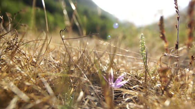 Pink crocus in the mountain prairie Pink crocus in the mountain prairie, in Vall D'Aran Valley. During summer. Dry grass sorrounding the crocus. lleida stock videos & royalty-free footage