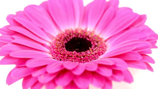 розовый желтый цветок на белом фоне - нивяник стоковые видео и кадры b-roll