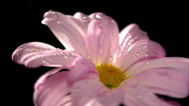 Pink Daisy flower plant with black background video