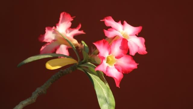 Roze woestijn rozen bloemen video
