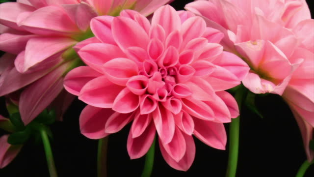 Pink dhalia blooming video