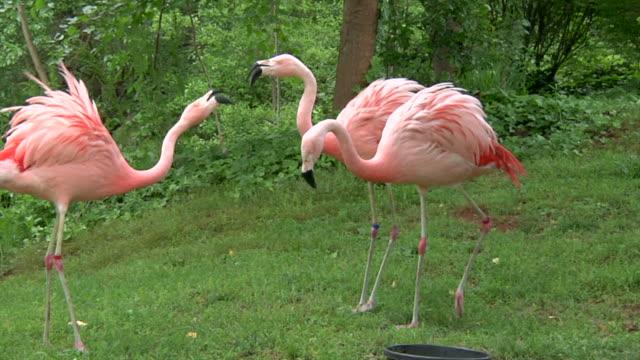 Flamingo Rosa discutir - vídeo