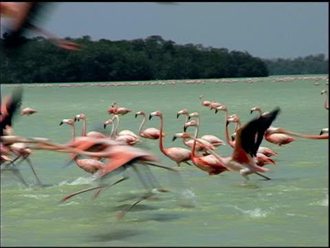 Pink Flamingoes in Flight