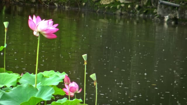 4K Pink Flower Of A Lotus In A Pond Chung-shan Park, in raining day Taipei