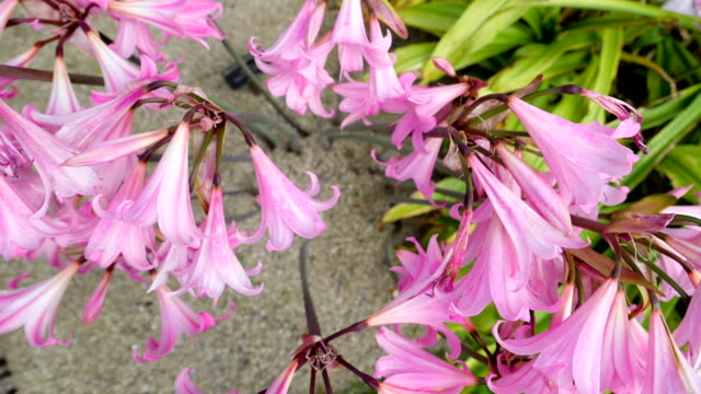 en rosa blomma av amaryllis i en sandig mark - amaryllis bildbanksvideor och videomaterial från bakom kulisserna