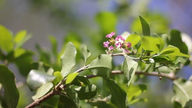 Roze bloem van Barbados of Acerola Cherry bloem video