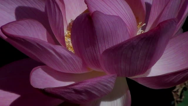 Pink flower of Indian Sacred Lotus (Nelumbo nucifera) in early morning.