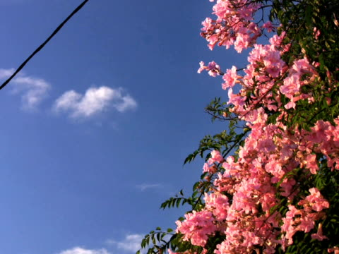 pal: pink flower - 管卡規格 個影片檔及 b 捲影像