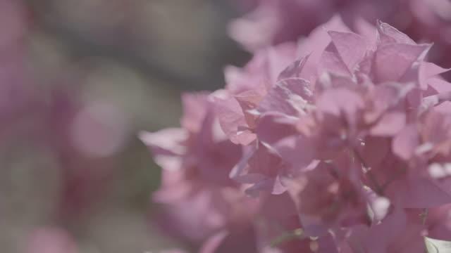 Flor-de-rosa - vídeo