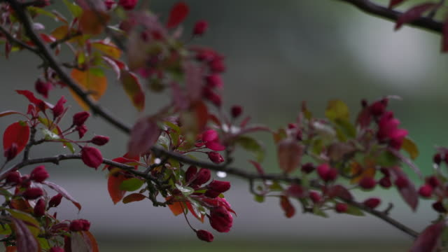 Pink flowered branch blowing in wind as rain falls