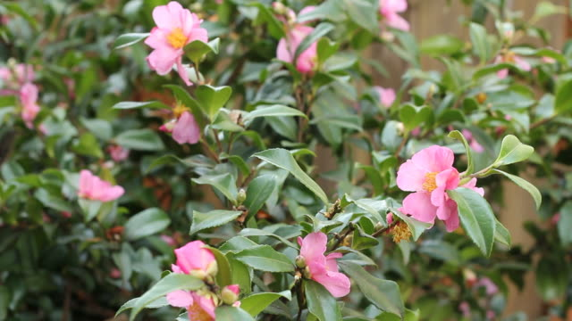 Pink Flowering Camellia Plant video