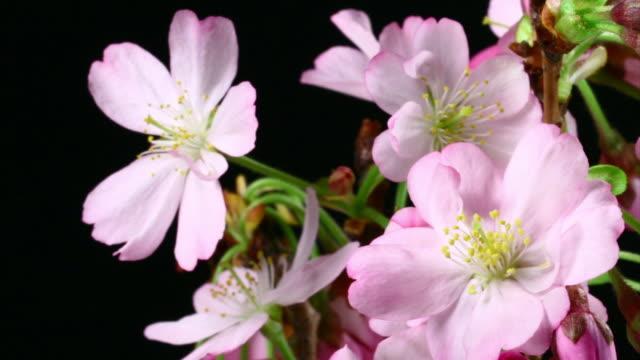 Pink flowers blooming HD video