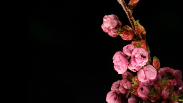 Pink flowers blooming video