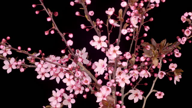 Pink Flowers Blossoms on the Branches Cherry Tree video