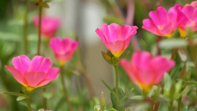 stockvideo's en b-roll-footage met roze bloemen die in tuin groeien. mooie roze bloemen die op groen bloembed op zonnige dag in park in de zomer groeien - natuurgrond
