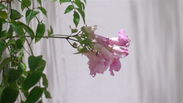 Pink flowers in the garden in slow motion 250fps