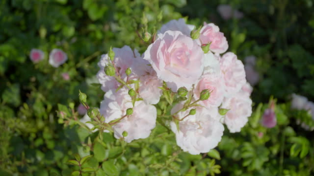 pink flowers in the sun - albicocco video stock e b–roll