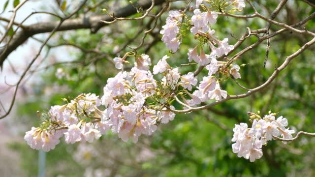fiori rosa fiori tabebuia rosea - disordine affettivo stagionale video stock e b–roll